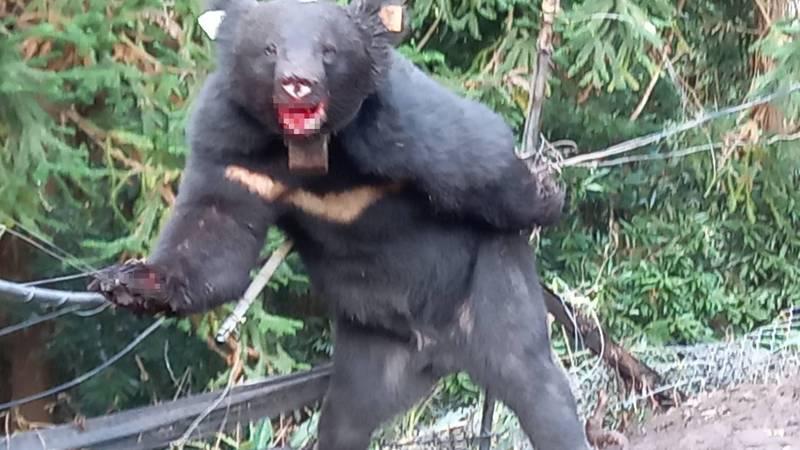 台灣黑熊受困農友設置的陷阱,左前肢被鋼索困住。(民眾提供)