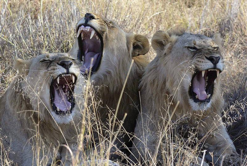 卡魯國家公園中有7頭獅子在一天之內跑出園區兩次,捕殺附近農莊10隻綿羊,最後遭到撲殺。圖為獅群示意圖。(美聯社)