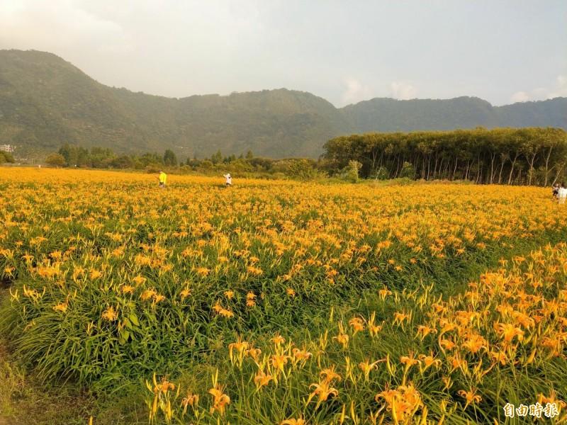 日月潭頭社金針花海,金橘花朵盛開怒放,景象相當壯觀。(記者劉濱銓攝)
