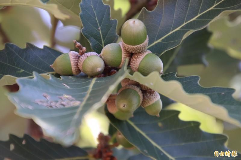 位於新竹縣婦幼館周邊的槲櫟橡實累累,模樣可愛,目前正值採收期。(記者黃美珠攝)