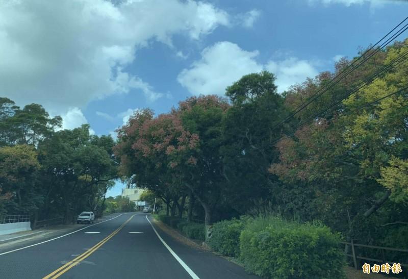 139線台灣欒樹呈現黃紅綠交錯!色彩繽紛超浪漫。(記者湯世名攝)
