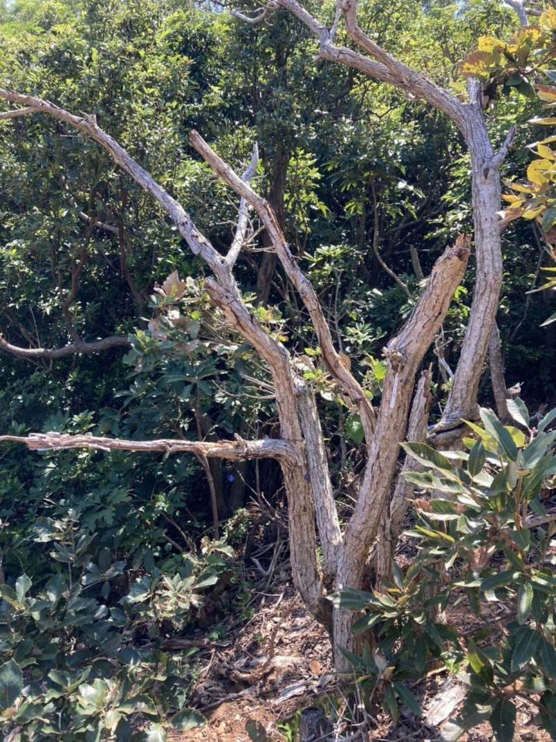 今年6月還「健在」的原生地槲櫟,如今已經死亡。(圖由趙偉村提供)