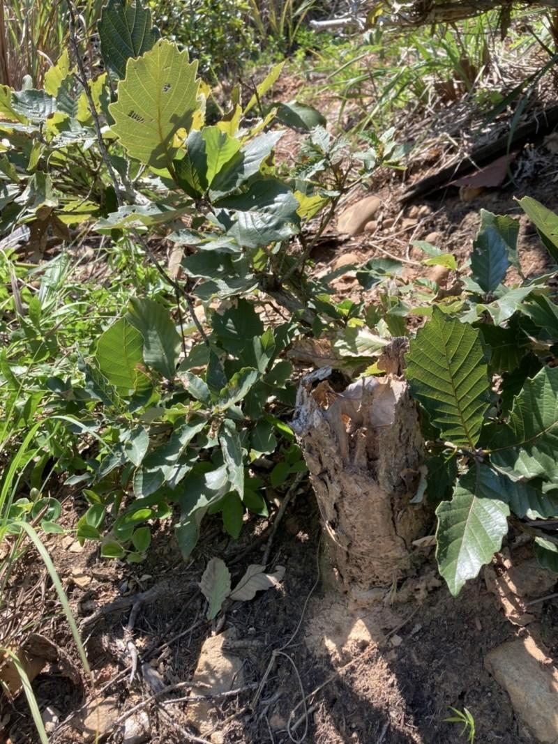 這棵原生地的槲櫟主幹已經死亡,只剩下萌蘗。(圖由趙偉村提供)