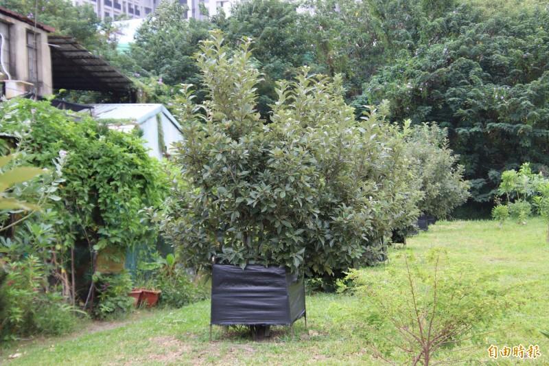 新竹縣政府農業處本週五將開放婦幼館的槲櫟復育區,舉辦介紹槲櫟的生態導覽活動。(記者黃美珠攝)
