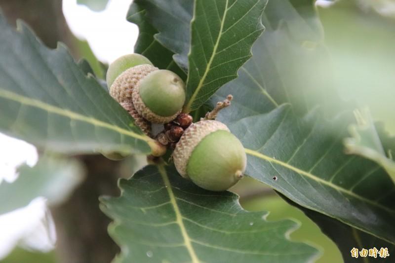 槲櫟寶寶成熟了,新竹縣復育槲櫟,也到了可以開放供民眾參觀的階段,首場體驗活動就將在本週五上午登場。(記者黃美珠攝)
