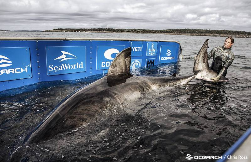科學家近日在加拿大海域發現一條巨大雌性大白鯊,其推定年齡高達50歲,重達1.6公噸。(擷取自OCEARCH推特)