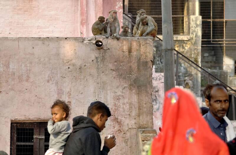 印度北方邦亞格拉市日前發生一起命案,疑似兩派猴子發生激烈衝突,過程中不慎撞倒一處破舊房子3樓的牆壁,2樓的2名男子不幸遭到波及,送醫不治。圖僅示意,與本文無關。(法新社)