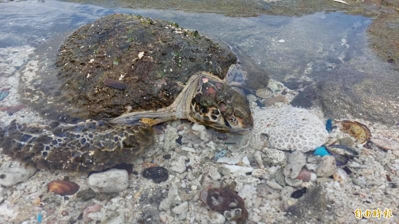 活體海龜龜甲上長滿海草,活動力極差。(記者劉禹慶攝)