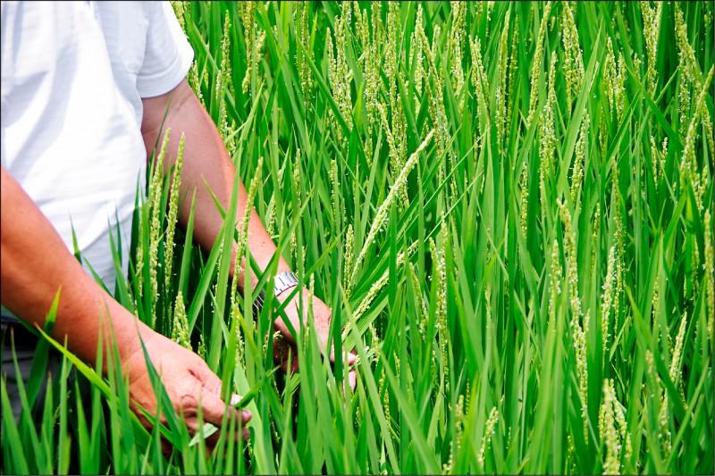 農水署署長蔡昇甫表示,桃竹苗水稻進入用水量最大的抽穗期,但考量水庫用水以民生用水為主,因此目前施行輪流灌溉。 (資料照)