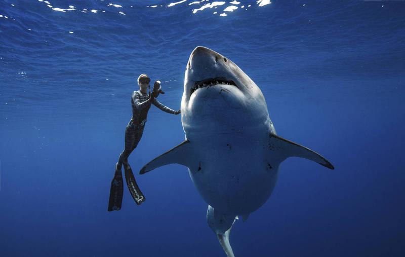大白鯊與泳客示意圖。(美聯社)