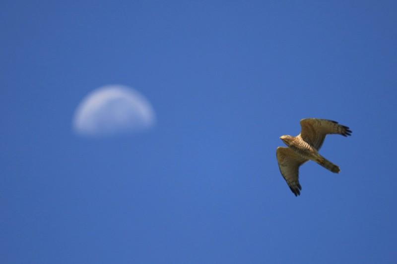 達人今日在禮納里捕捉到灰面鵟鷹「與月亮共舞」的精彩鏡頭。(圖由徐伯毅提供)