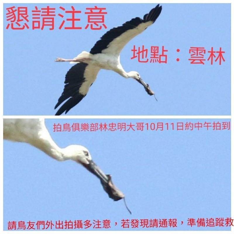 東方白鸛嘴喙上疑似被人類丟棄的口罩套住,可能導致無法進食甚至死亡,拍鳥俱樂部做成圖檔發佈請求全國鳥友加入搶救。(鳥友林忠明提供)