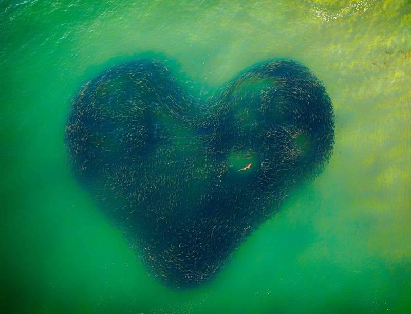「天然的愛心」(Love Heart of Nature) - 有隻鯊魚在冬天追逐一群鮭魚,鮭魚排列成心形的圖案包住牠。(Jim Picôt/Drone Photo Awards 2020授權)
