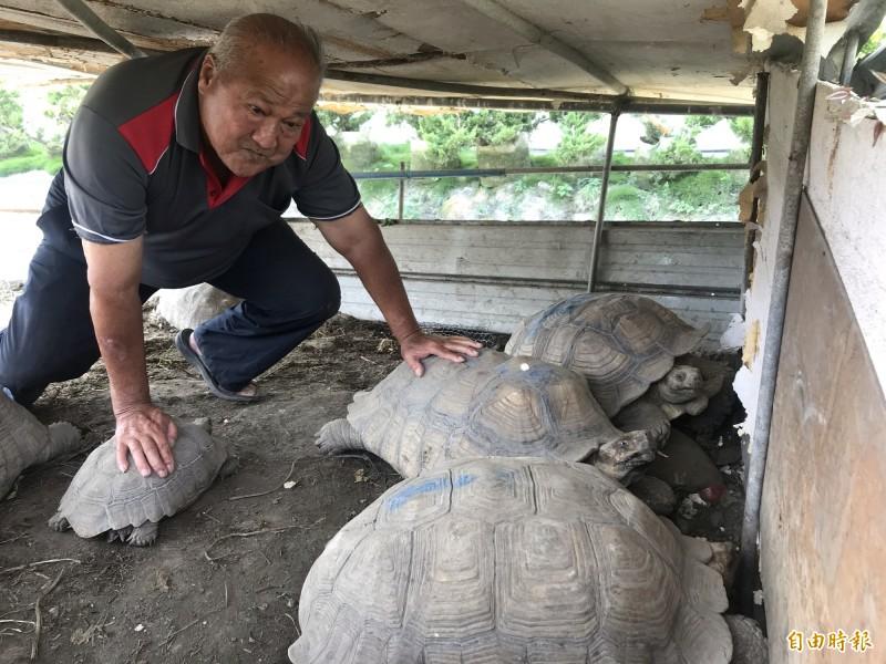 吳盛鄰的田間養了近20隻象龜。(記者顏宏駿攝)
