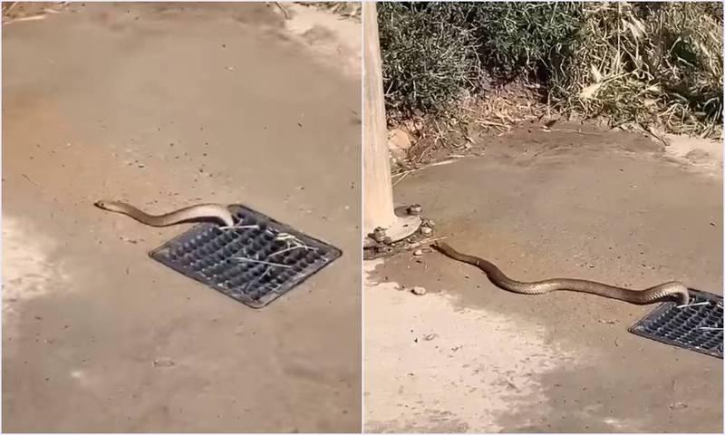 具有強烈毒性的棕蛇竟出沒於淋浴間的排水孔,嚇壞了周遭遊客。(圖截取自Snake Catchers Adelaide臉書,本報合成)