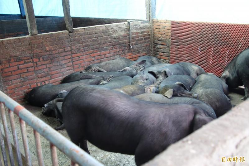 新竹肉品市場從明年開始,只要是由他們拍賣、電宰的豬肉,都會發出「拍賣證明單」給肉商佐證豬肉來源。(記者黃美珠攝)