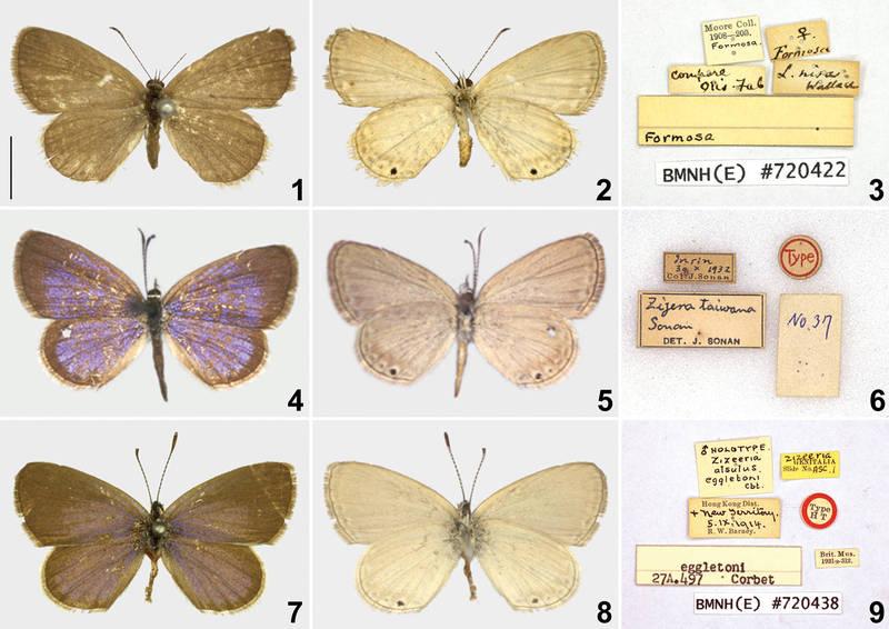 英國博物學家華萊士單點藍灰蝶1866年發表來自「Formosa」的「Lycaena nisa」(上圖),並以另外2種蝴蝶(中圖、下圖)作為對比。(圖取自國際期刊《Zookeys》)