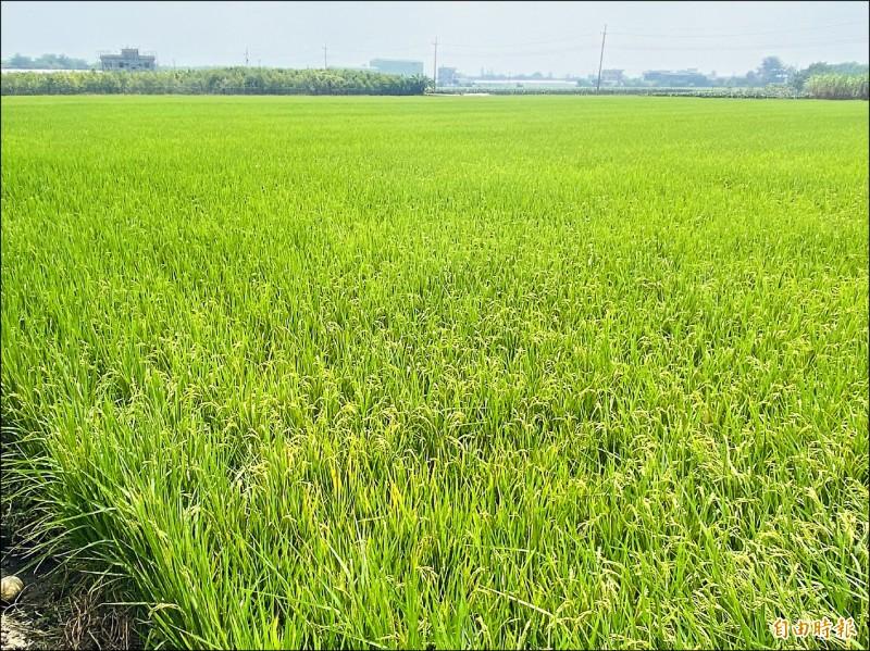 嘉南二期稻作照常供灌,不受水情影響。(記者蔡宗勳攝)