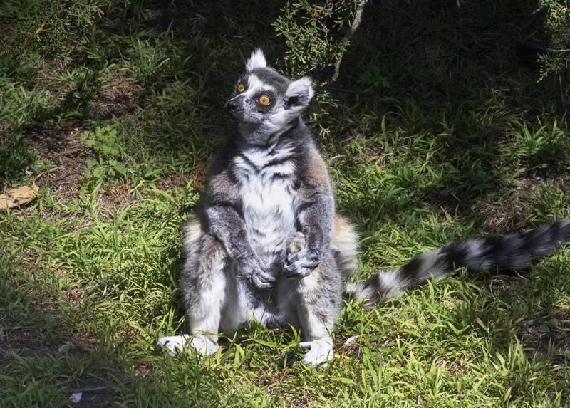 幼稚園柯南?美5歲男童眼尖 破獲動物園狐猴遭竊案