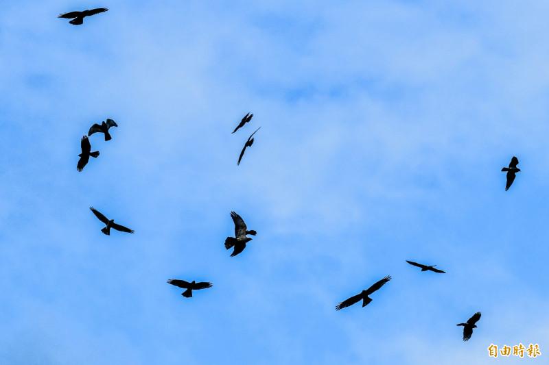 墾丁灰面鵟鷹、赤腹鷹大遷徙 連兩年秋季刷新過境紀錄