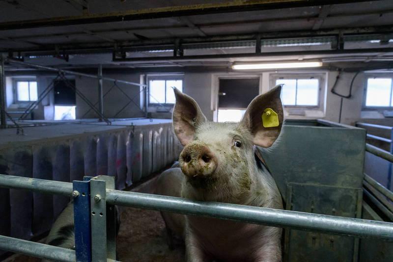 美國北卡羅來納大學一份最新報告指出,一種從中國養殖豬隻發現「豬急性腹瀉症候群冠狀病毒」的新興冠狀病毒,未來不僅可能造成新一波豬瘟疫情,更有機會跨物種傳染給人類。(歐新社)