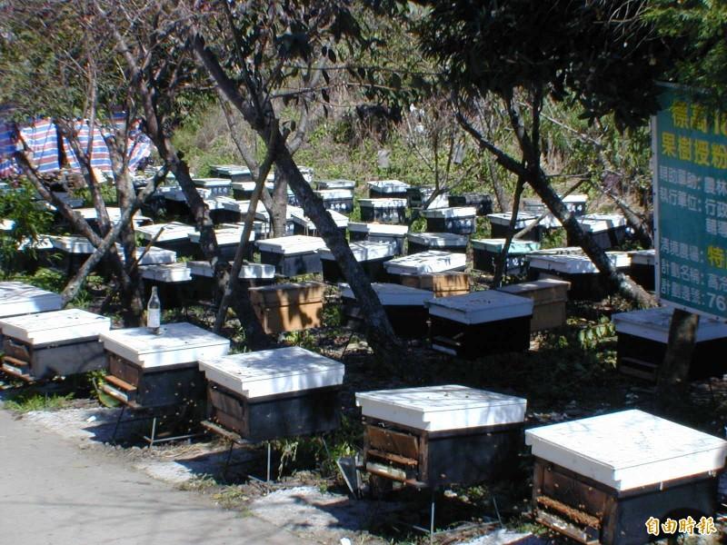「林下經濟」正夯,目前開放「森林蜂產品」等3類,但有林農突發奇想要養虎頭蜂取蜂蛹、蜂群泡酒,但虎頭蜂生性凶猛,立即遭林管處打槍。(記者佟振國攝)