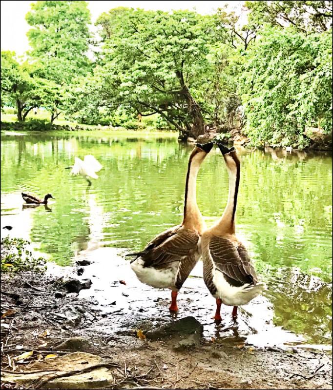 2隻鵝寶寶續留大安森林公園生活。(民眾提供)