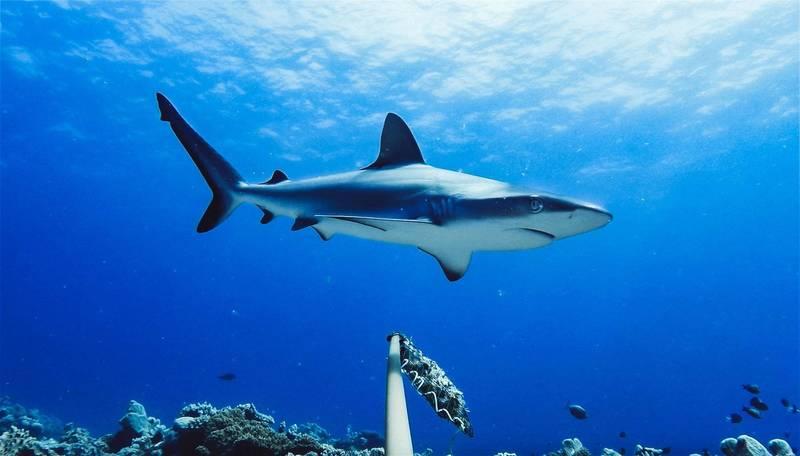 澳洲今年已有7人被鯊魚咬死,創下近百年新高。(法新社)