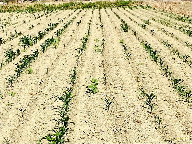 久旱不雨導致硬質玉米播種後發芽率偏低情形嚴重,田裡稀稀疏疏。(記者蔡宗勳攝)
