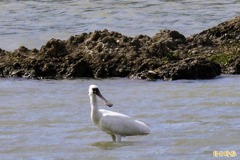 黑面琵鷺罕見10月降臨國境之南。(記者蔡宗憲攝)