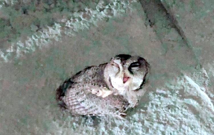 南投半山夢工廠中的台灣版「阿凡達生命之樹」施工現場赫見1隻領角鴞身體不適情形。(南投半山夢工廠提供)