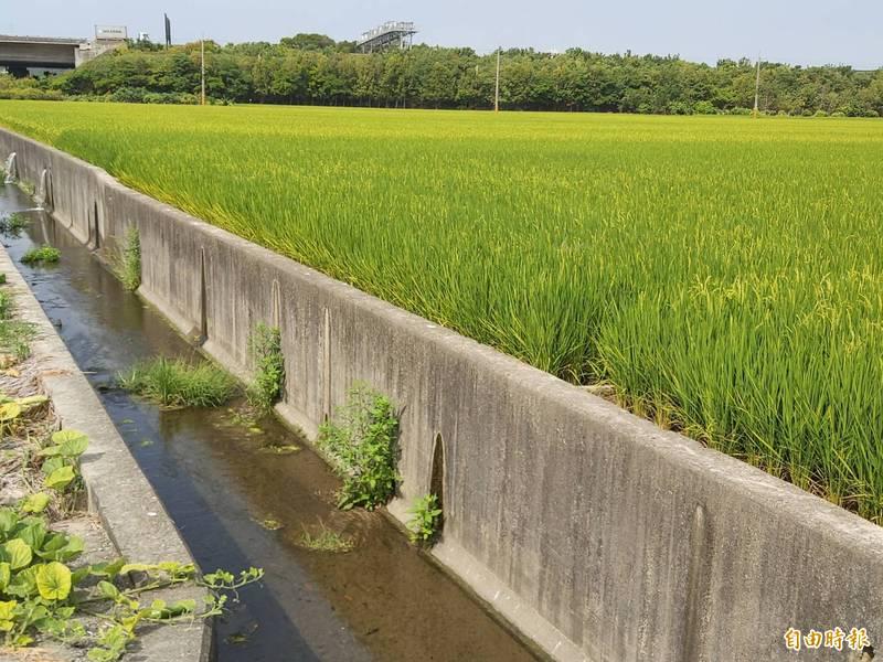 今年1期水稻因面臨低溫、缺水等氣候異常因素,發生稻穗不稔實「空包彈」,致稻農收穫量減少,農金局表示,此次「水稻區域收穫保險」計有7縣市、29鄉鎮符合保險理賠條件,共有3592名稻農受益,理賠金額破新台幣1億元。(示意圖,資料照)