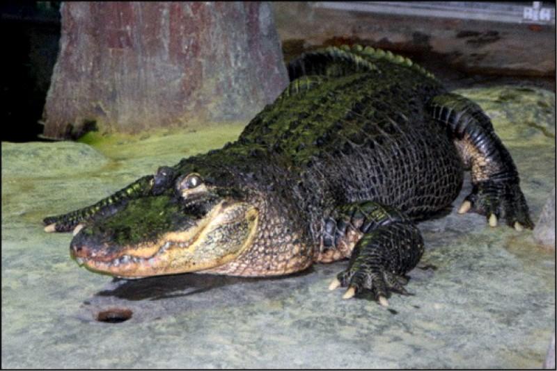 一隻據傳曾由前納粹領袖希特勒飼養的鱷魚,在莫斯科過世。(法新社資料照)