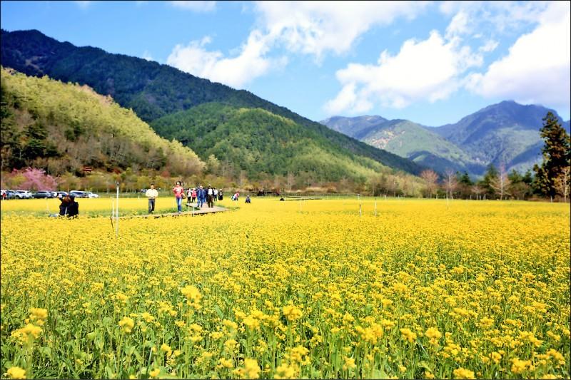 武陵農場的油菜花田,美不勝收。(武陵農場提供)