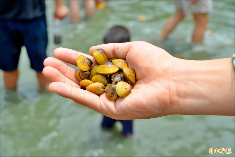 花蓮近年專研河蜆培育,黃金蜆成功打響知名度。(記者王峻祺攝)