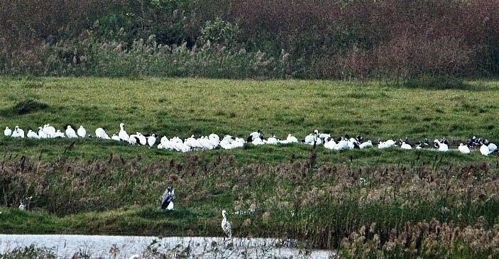 黑面琵鷺群聚在高雄茄萣濕地。(張文彬先生拍攝)