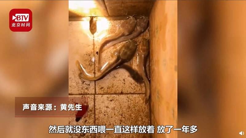 中國一段影片瘋傳,畫面中可見幾條「巨型蝌蚪」在狹窄的水池游動。(圖擷取自微博)