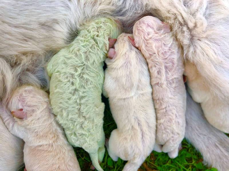 義大利一隻白色牧羊犬竟生下「淡綠色」小狗。(路透社)