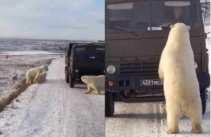 近日俄羅斯北部城市一輛垃圾車故障停在雪地上,一旁突然出現一群北極熊,爬進後方車斗覓食,其中一隻成熊更站在車前與駕駛對望,畫面讓網友看了好心疼。(圖擷取自YouTube)