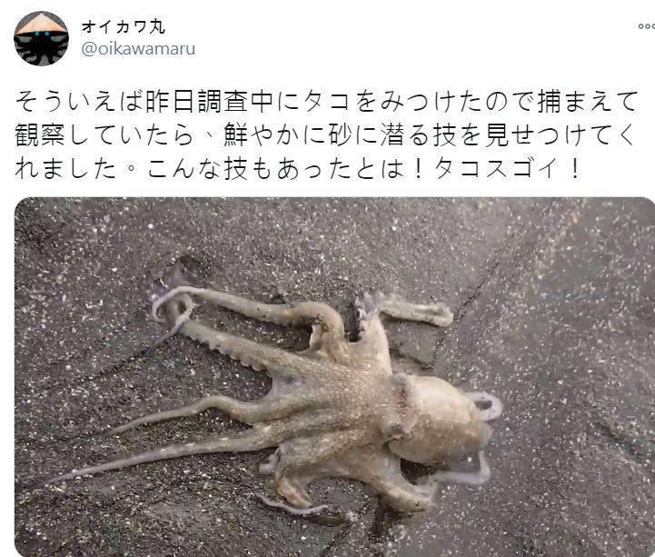 章魚「潛沙隱形」短片瘋傳,療癒的畫面與聲音刺激著眼睛與耳朵,讓人忍不住一看再看。(圖擷取自推特)