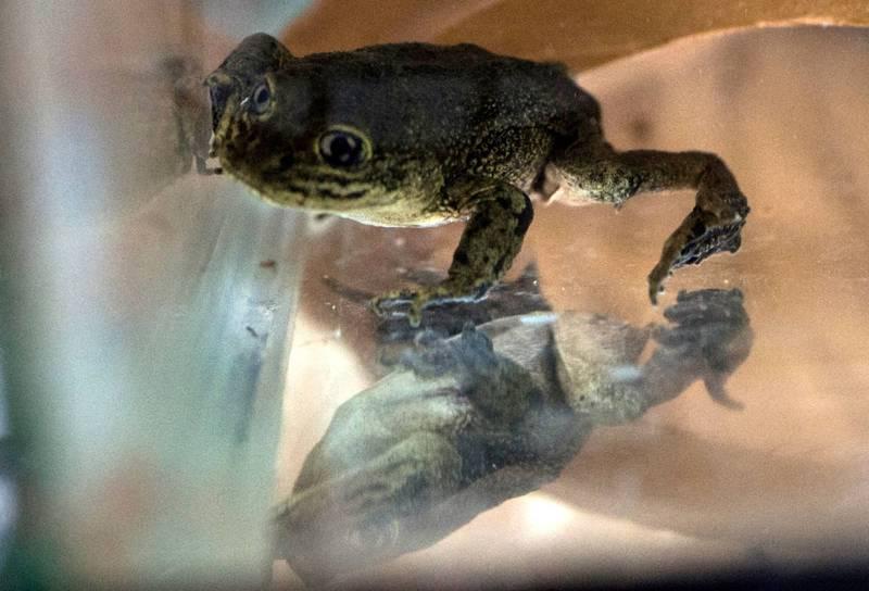 2019年有14隻極度瀕危的「洛阿水蛙」被發現困在智利卡拉馬市外的泥窪中,所幸獲得救援,現在動物園內成功繁衍。(法新社)