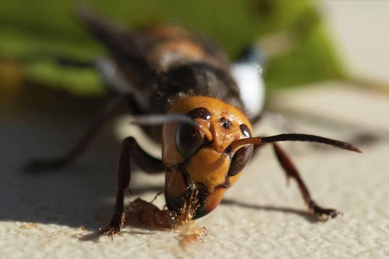 大虎頭蜂分布於亞洲地區,以其巨大體型及兇猛的天性贏得「巨型殺人蜂」(giant murder hornets)的渾號,是世上體型最大的蜂類。(美聯社)