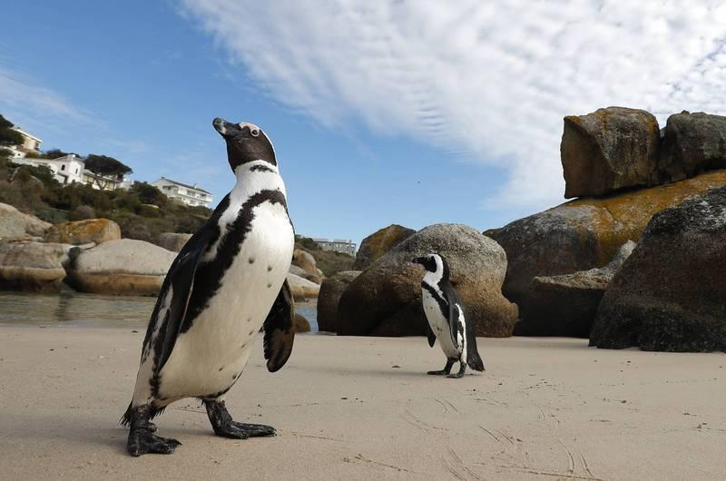 企鵝同性伴侶在動物園並不罕見。圖非當事企鵝。(歐新社)
