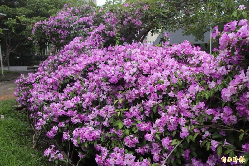 竹北新瓦屋生態池因為蒜香籐「紫爆」了!(記者黃美珠攝)