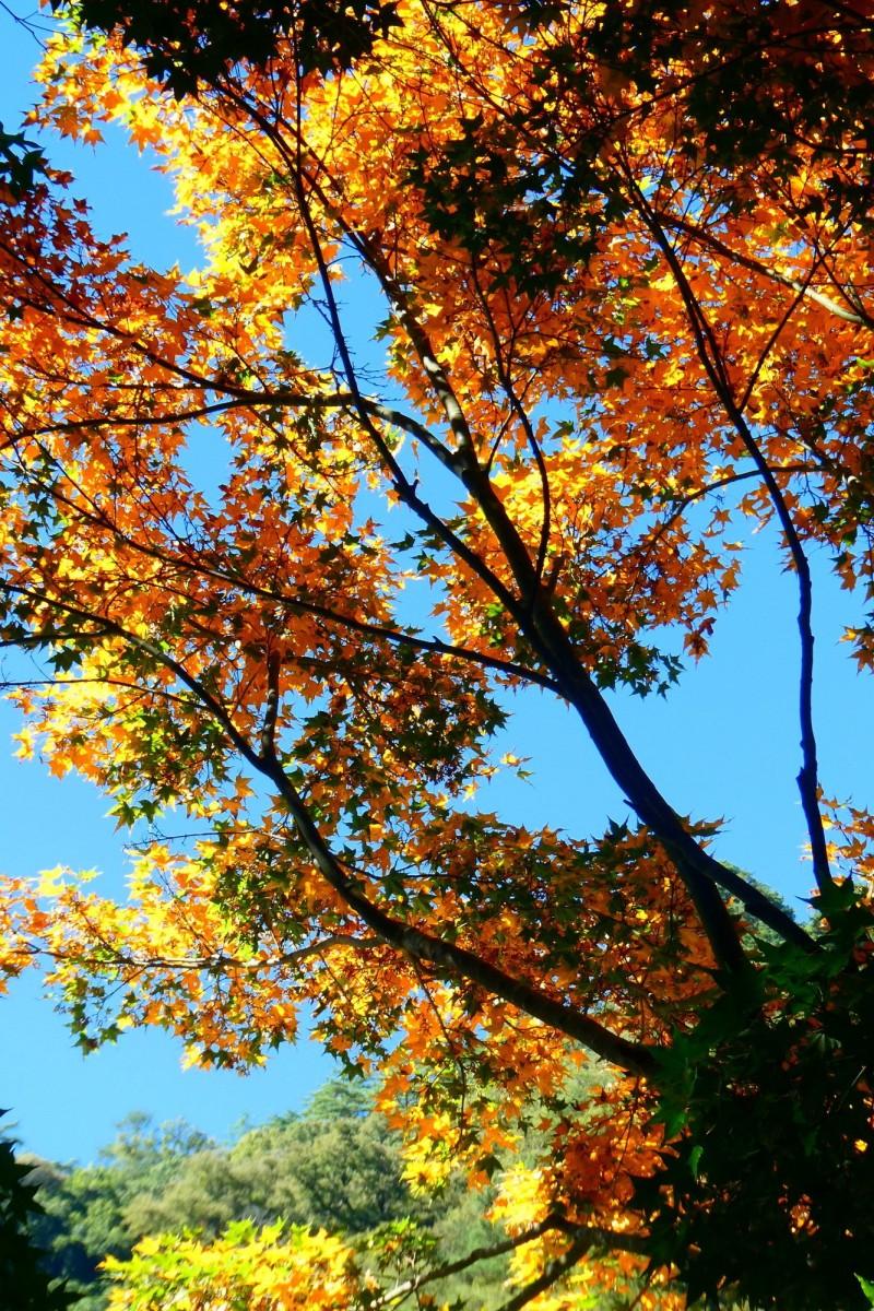 奧萬大森林遊樂區楓林步道沉沙池旁的青楓,葉片已經轉黃。(林務局南投林管處提供)