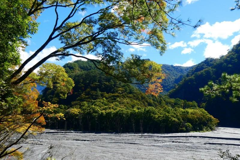奧萬大森林遊樂區的櫸木也在變色中,至於楓林區的楓香群變色還要再等等。(林務局南投林管處提供)
