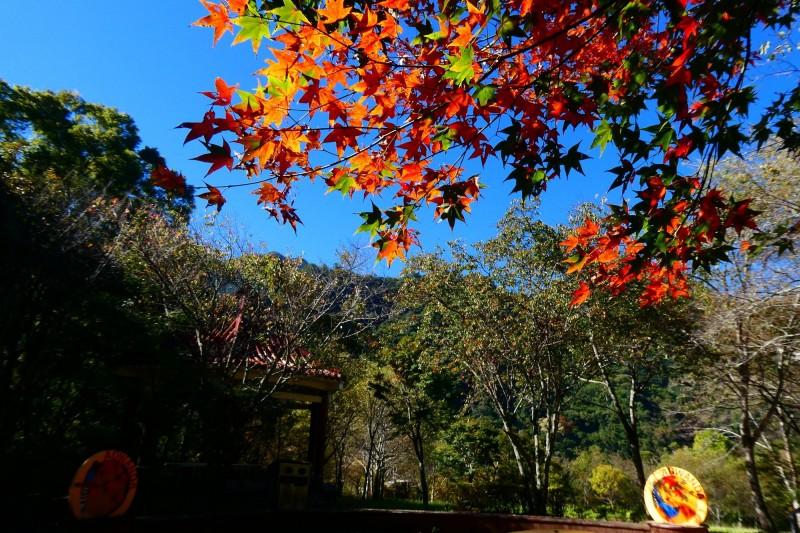 奧萬大森林遊樂區櫻花園內的部分青楓已轉紅。(林務局南投林管處提供)