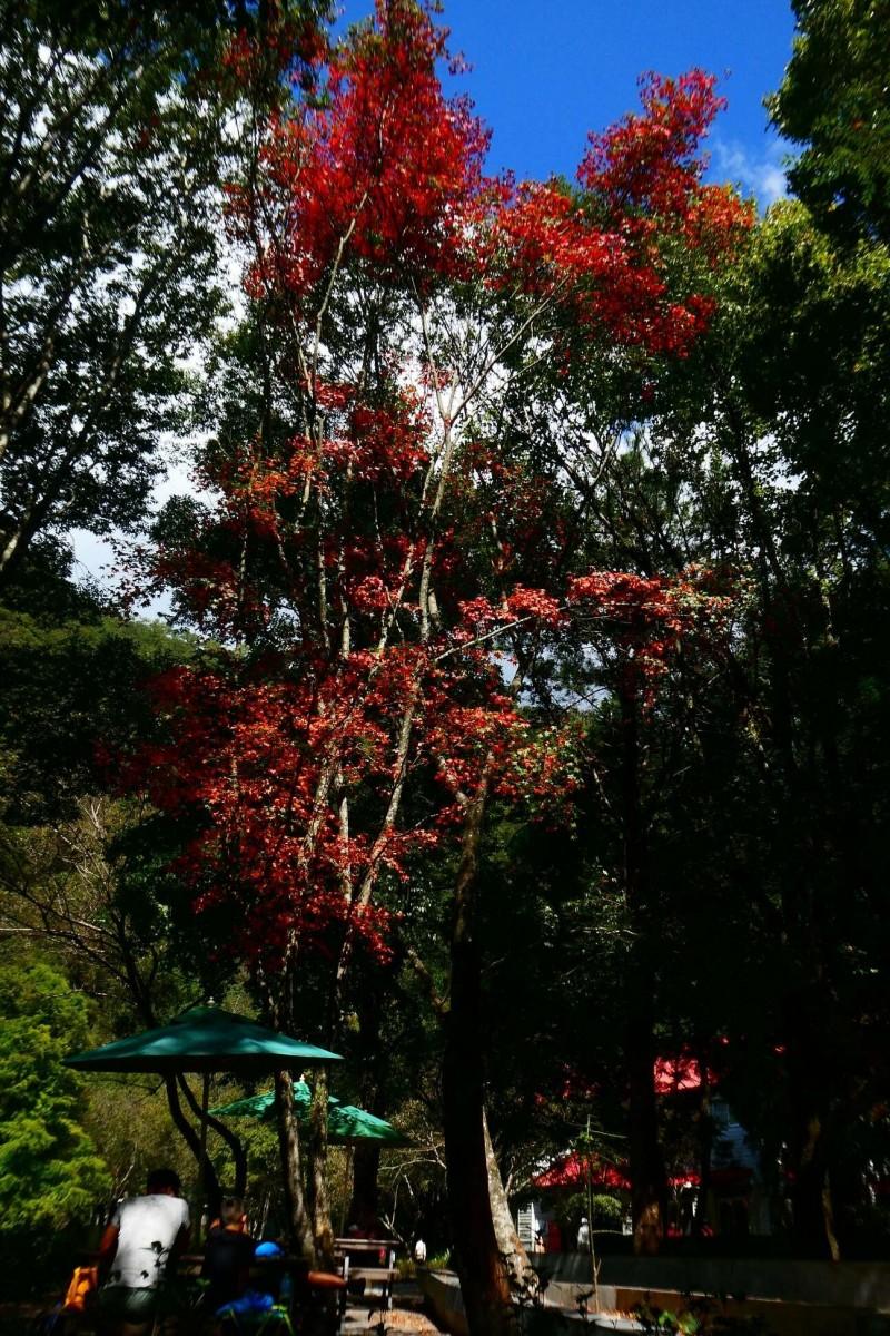 奧萬大森林遊樂區員工宿舍青楓葉片已轉為橘紅色。(林務局南投管理處提供)