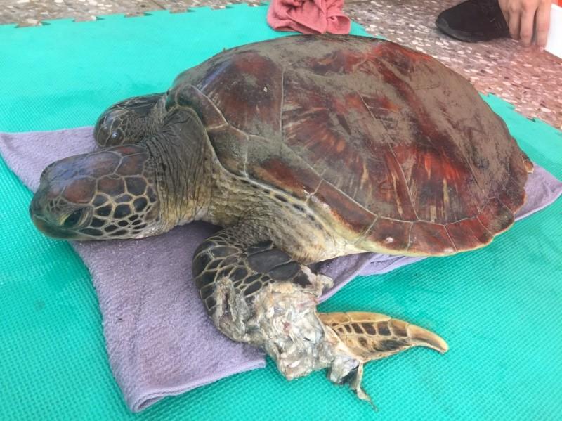 高雄市永安液化天然氣廠的海水渠道內,今天發現一隻左前肢受傷的活體綠蠵龜。(記者洪臣宏翻攝)