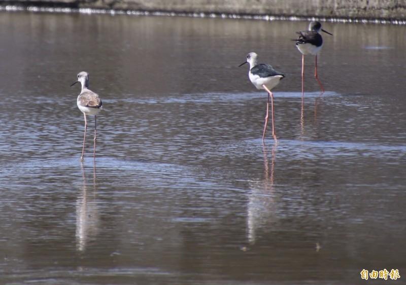 來台越冬的高蹺鴴紅色的細腿猶如踩高蹺般,體態修長且黑白分明,很好辨識。(記者黃美珠攝)